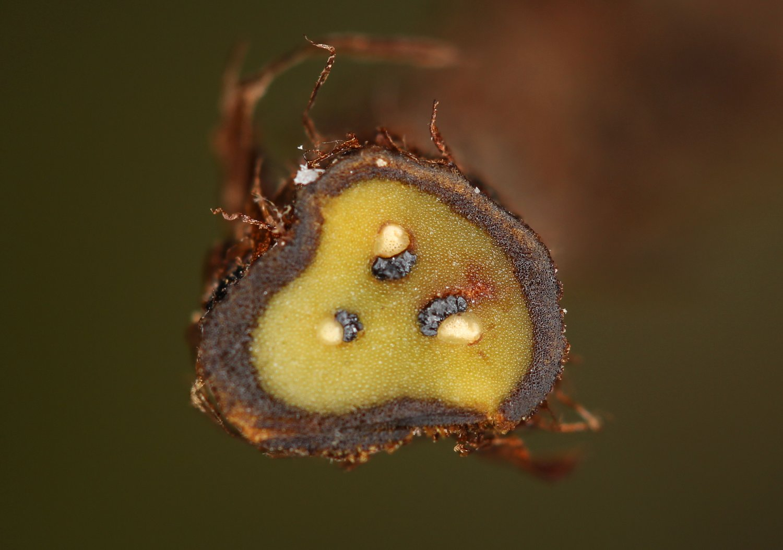 Ctenitis paranaensis