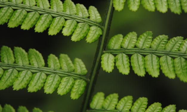Marattia weinmanniifolia