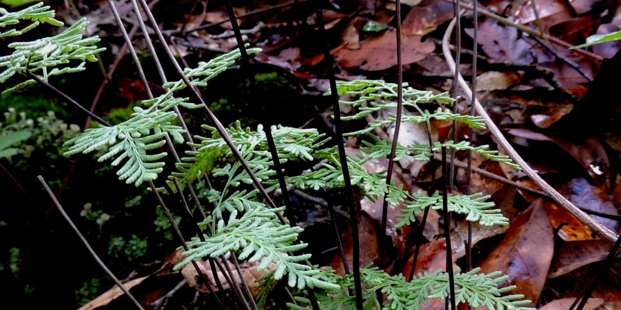Cheilanthes pyramidalis