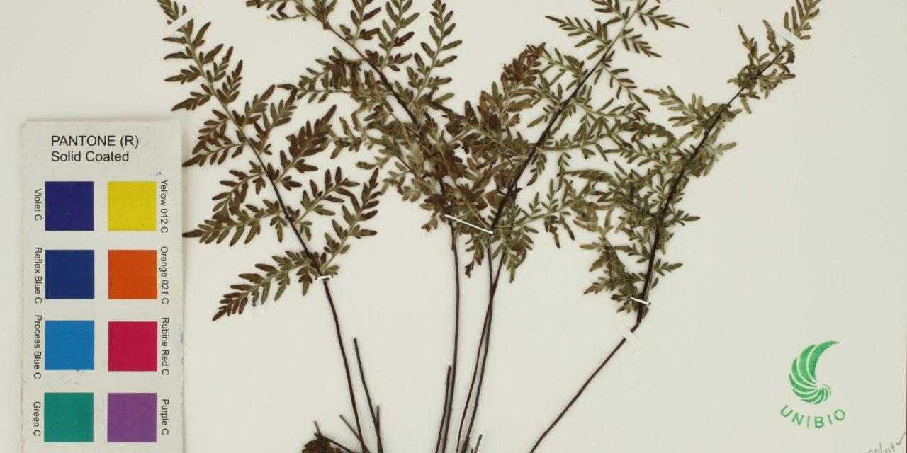 Cheilanthes marginata