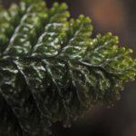 Hymenophyllum microcarpum