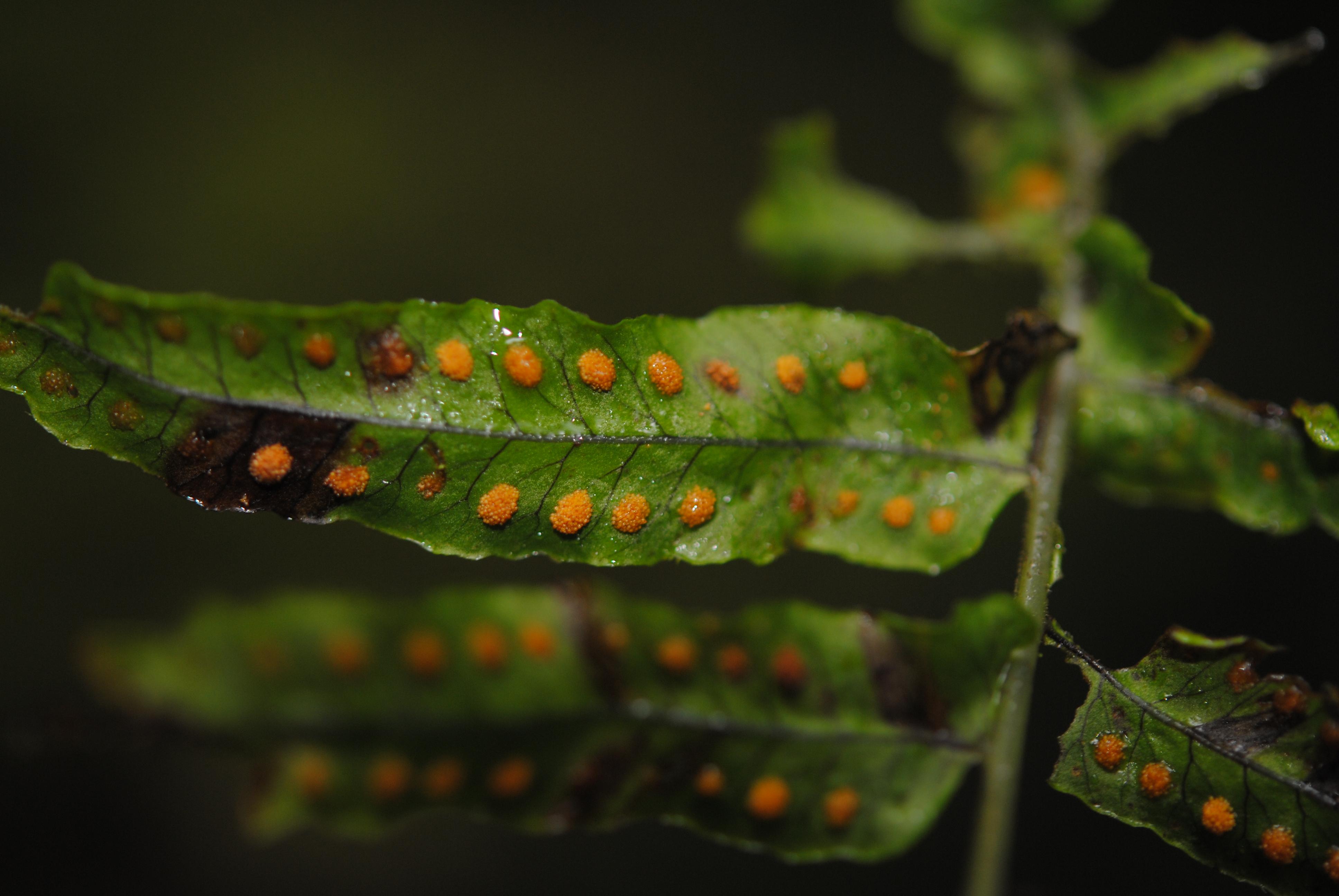 Polypodium longepinnulatum