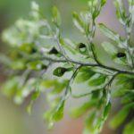 Hymenophyllum fucoides