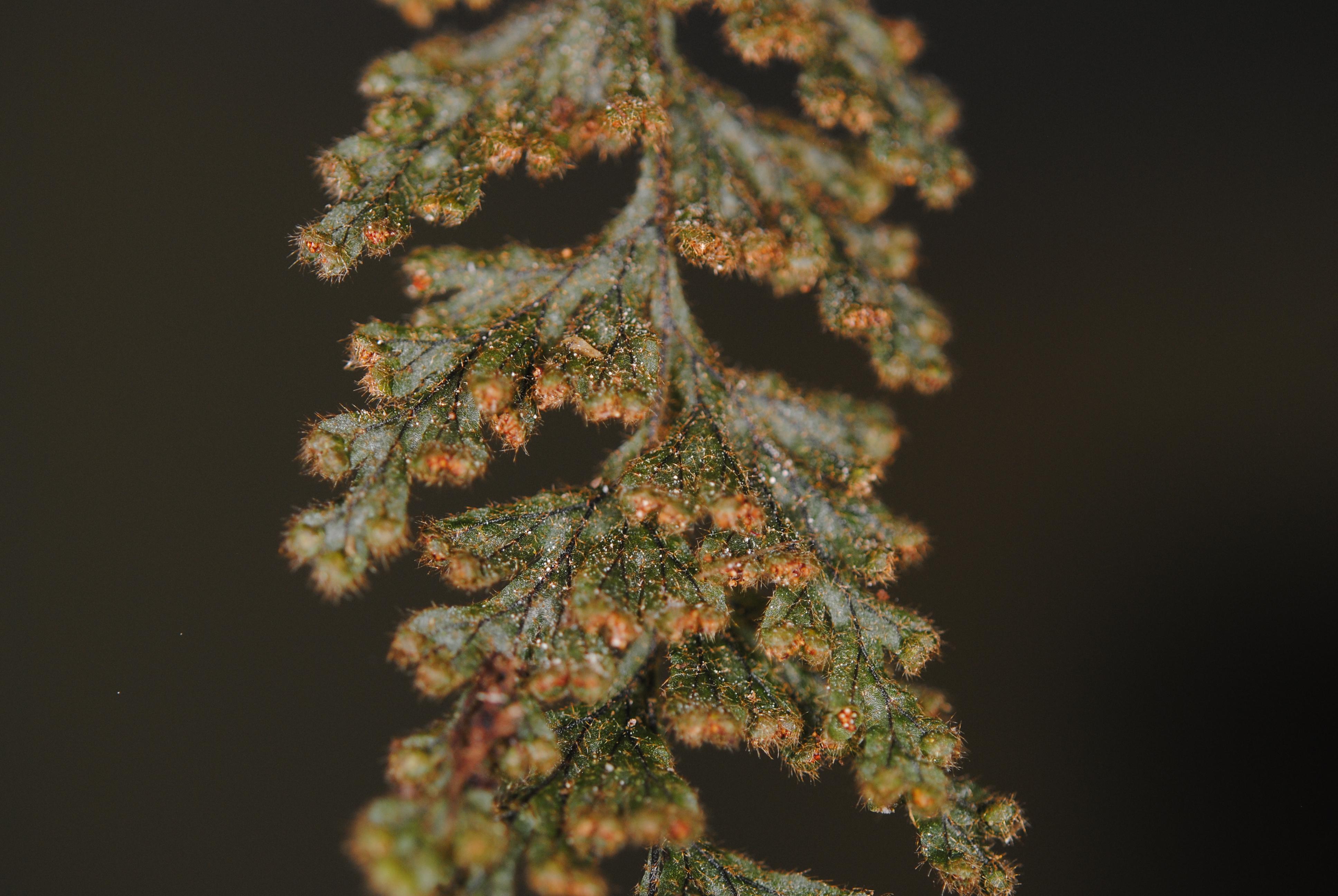Hymenophyllum tegularis