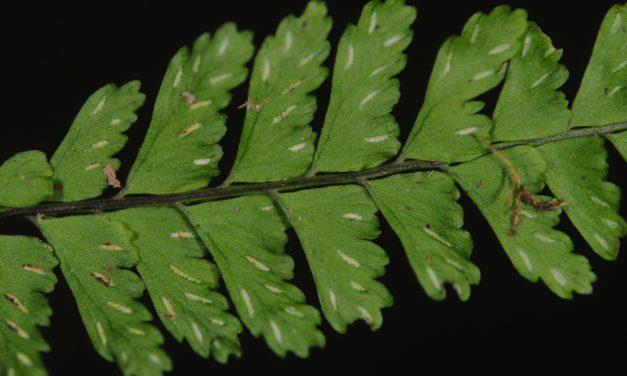 Asplenium miradorense