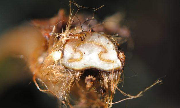 Culcita coniifolia