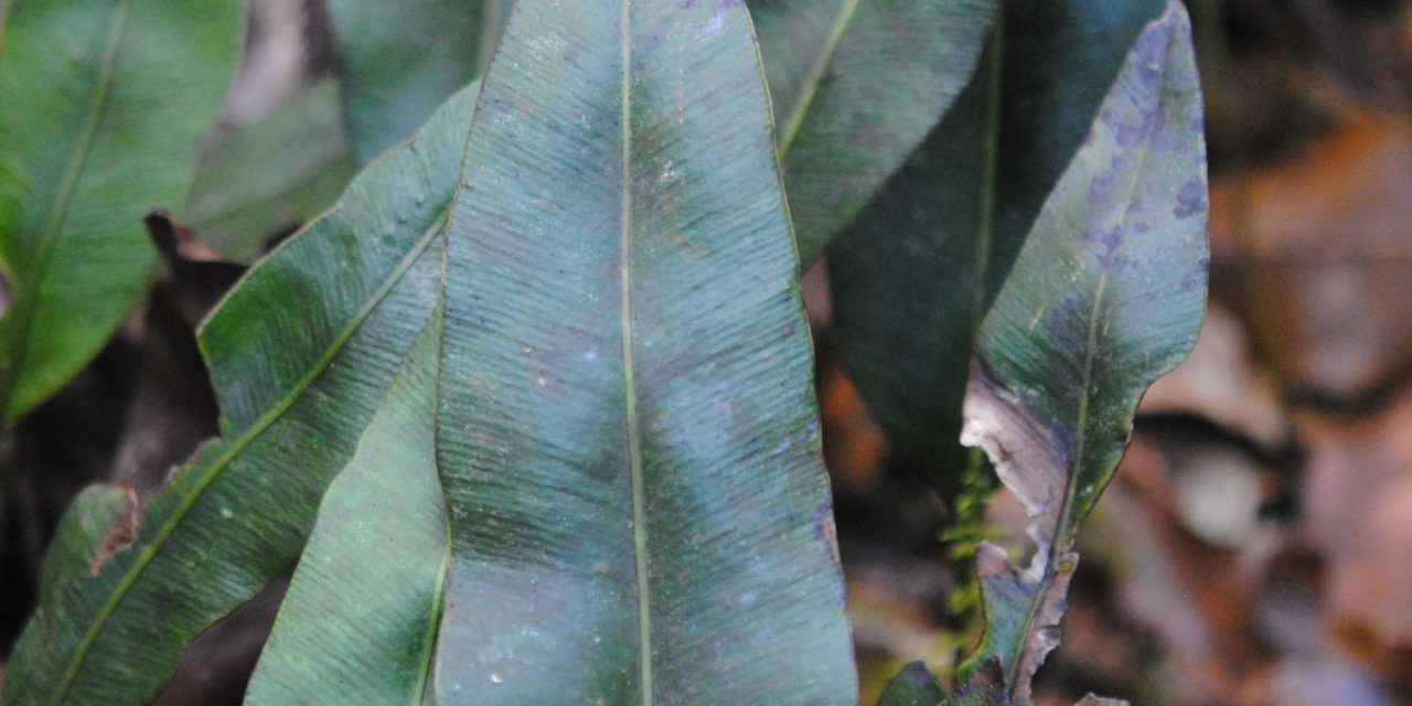 Elaphoglossum seminudum
