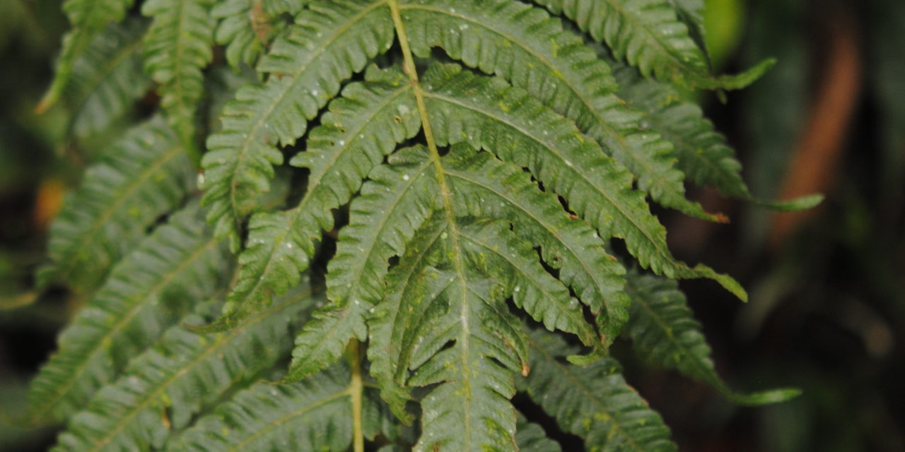 Goniopteris hatchii