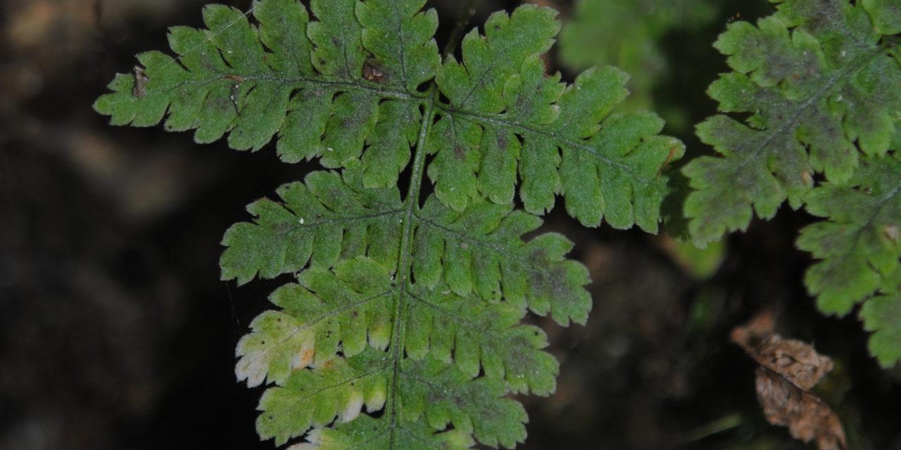 Dryopteris nubigena