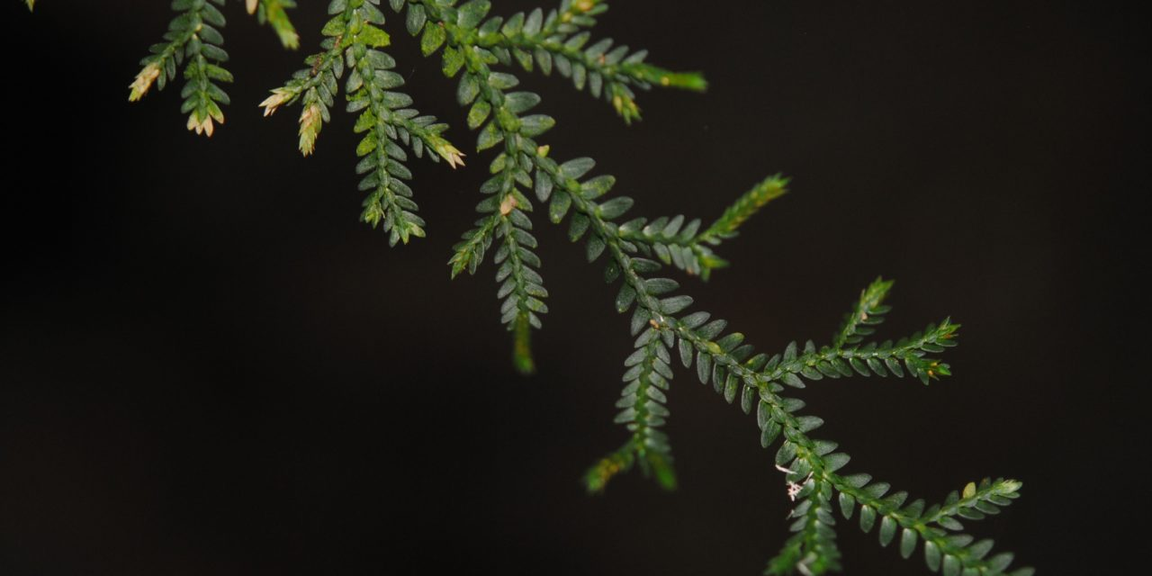 Selaginella flexuosa
