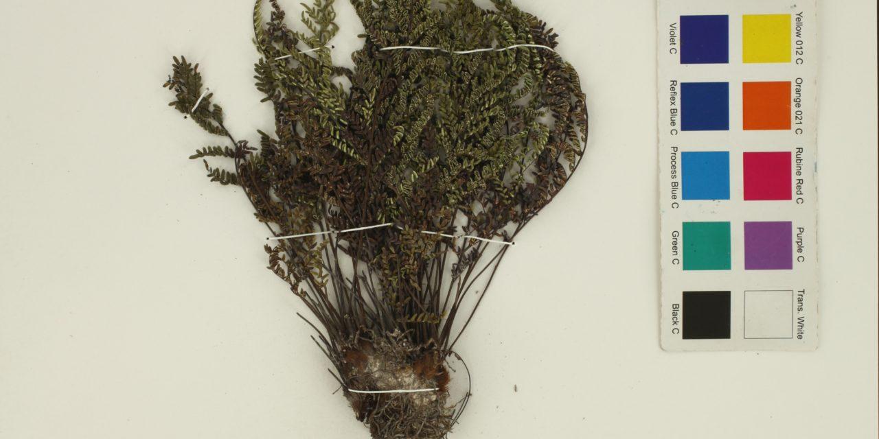 Notholaena bryopoda