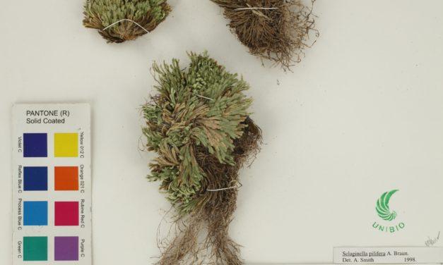 Selaginella pilifera