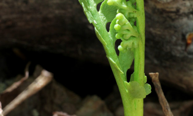Botrychium spathulatum