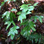 Pleopeltis muenchii
