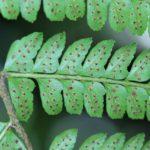 Polystichum alfaroi
