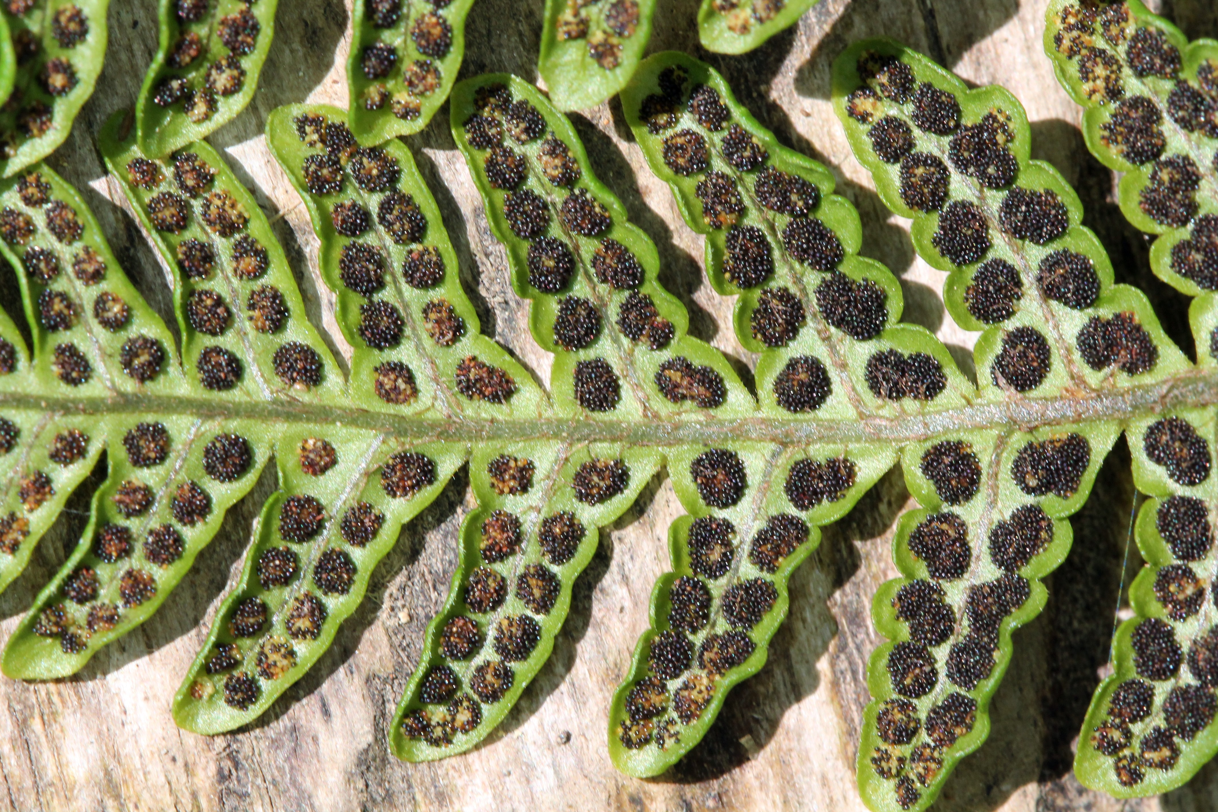 Megalastrum macrotheca