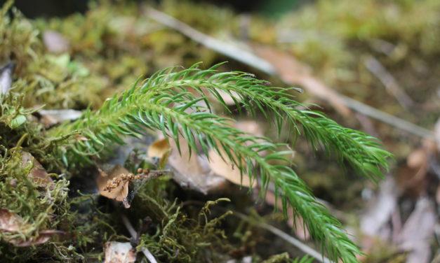 Phlegmariurus homocarpus
