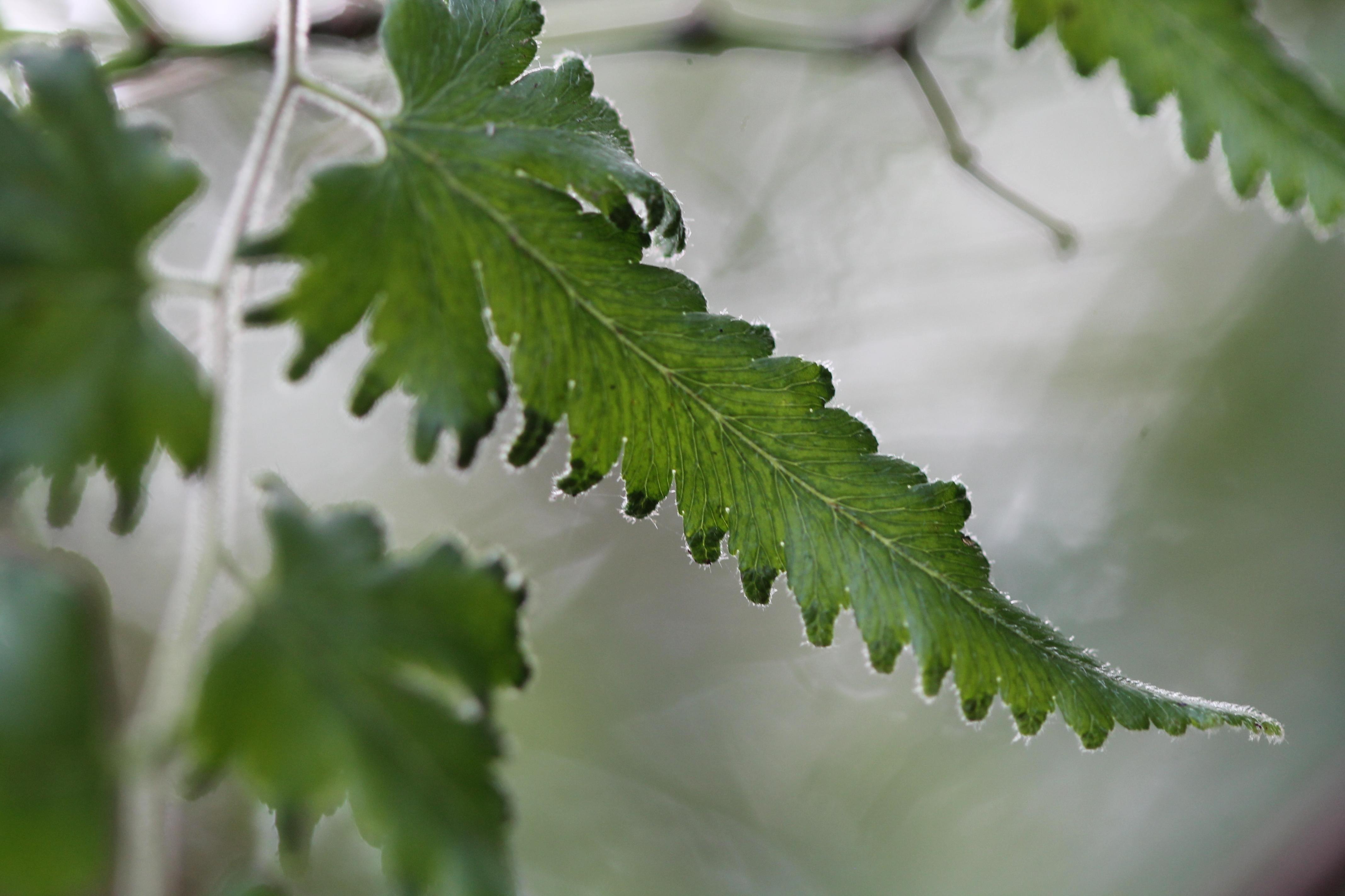 Lygodium venustum