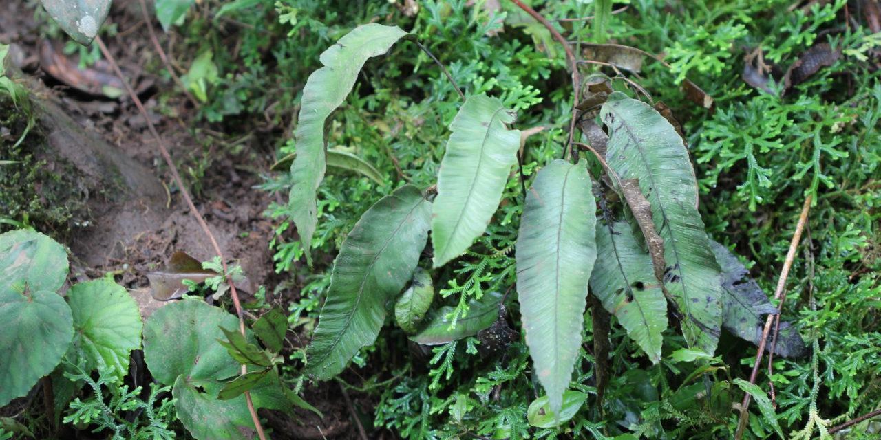 Diplazium plantaginifolium
