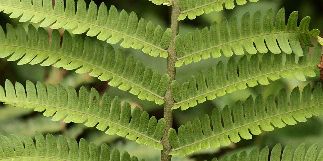 Ctenitis submarginalis
