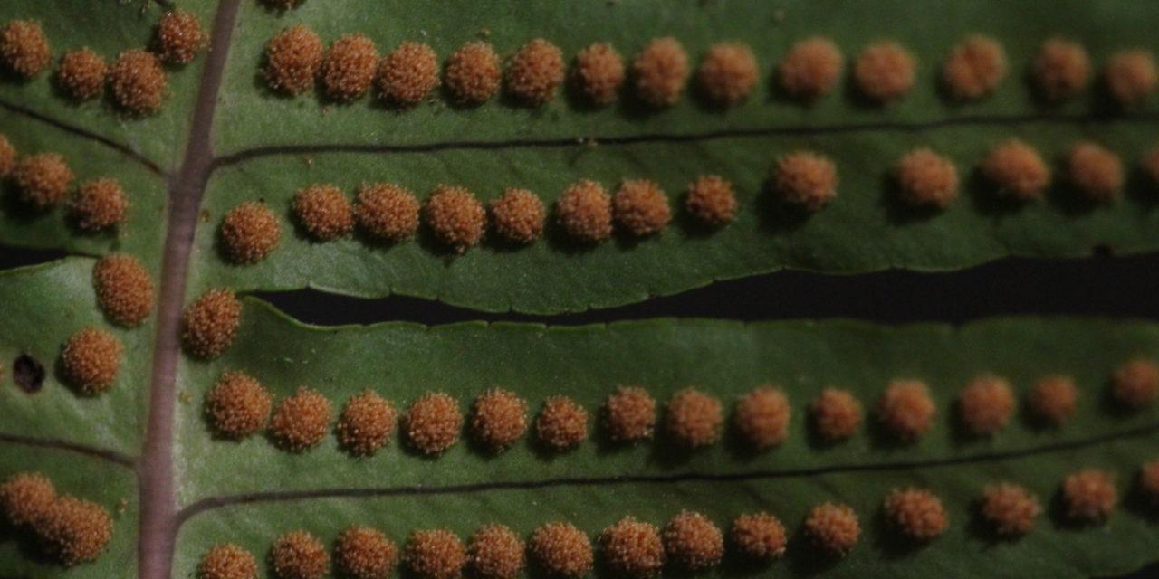 Polypodium arcanum