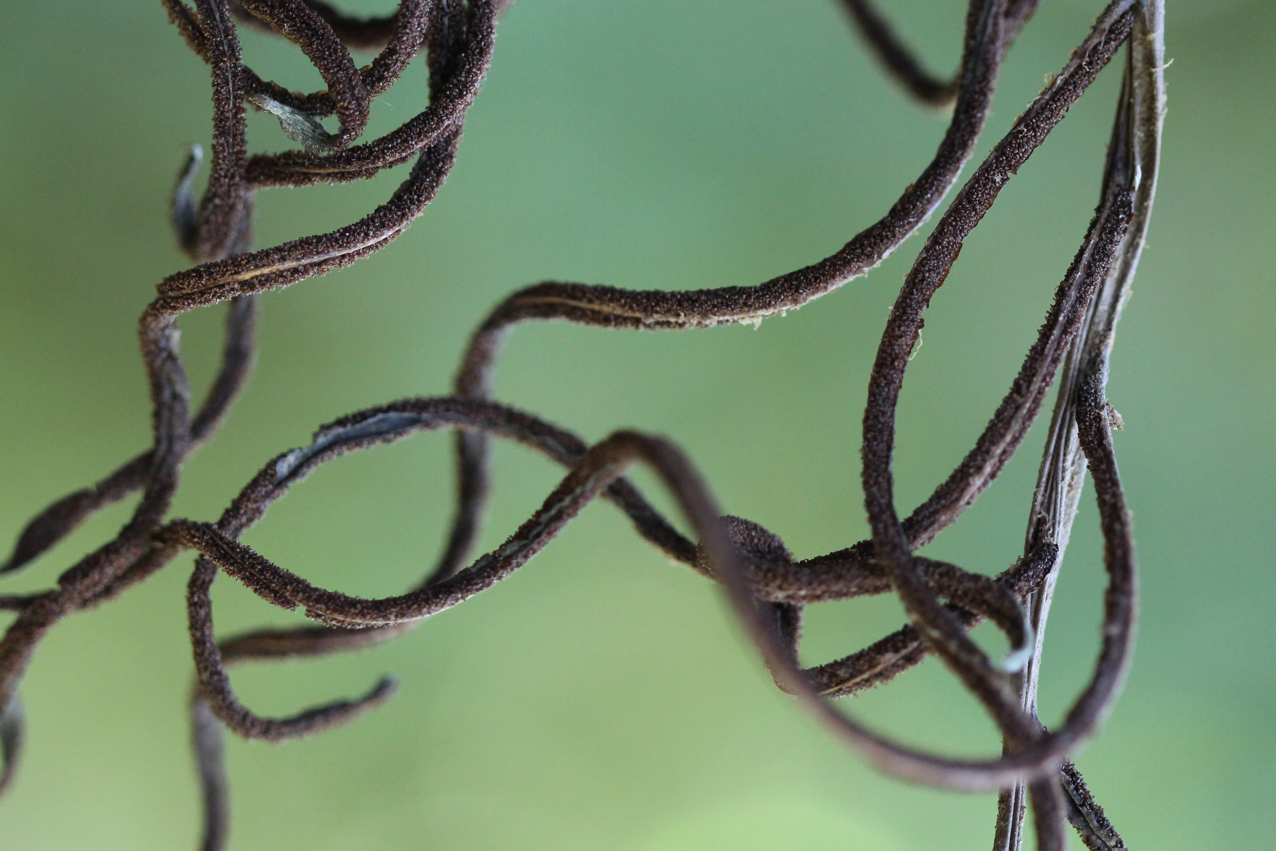 Parablechnum schiedeanum