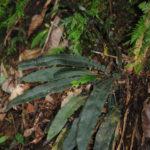 Pronephrium beccarianum