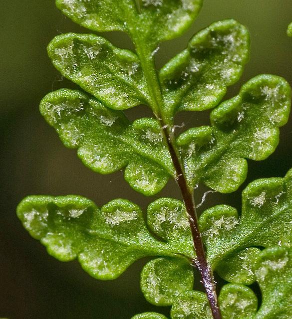 Cheilanthes acrostica