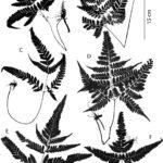 Key to Neotropical Species of Triplophyllum