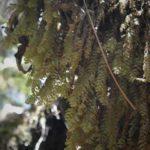 Hymenophyllum  pulchellum