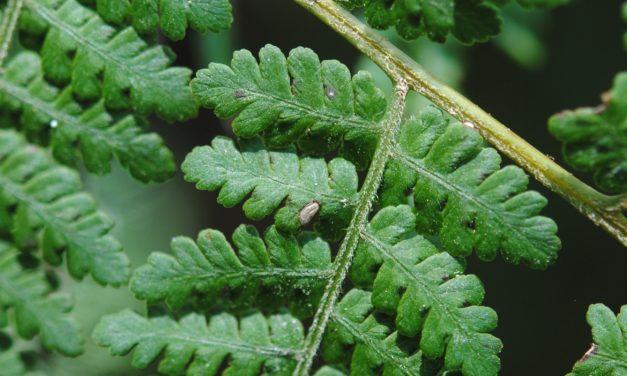Hypolepis blepharochlaena