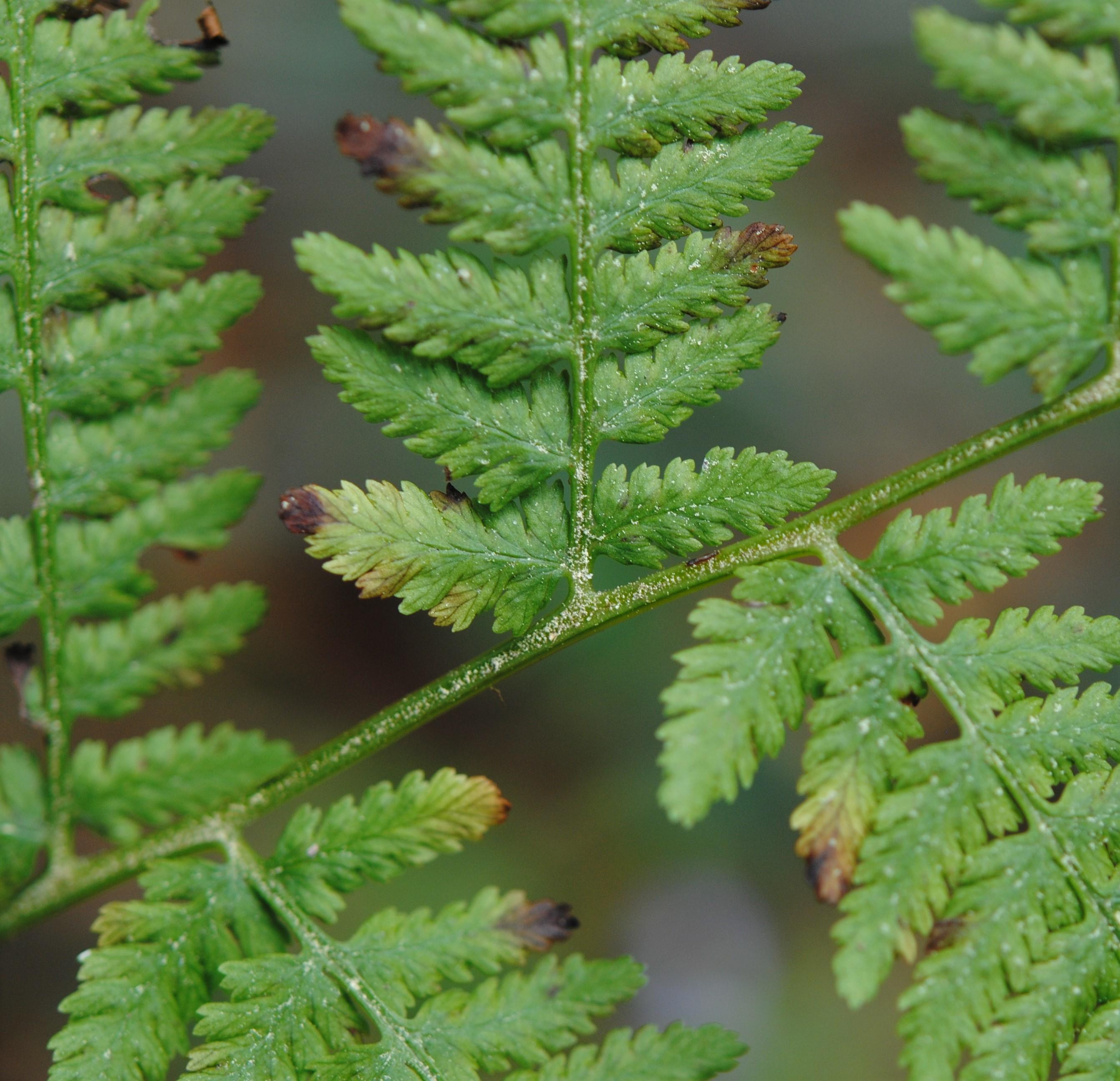 Athyrium bourgaei
