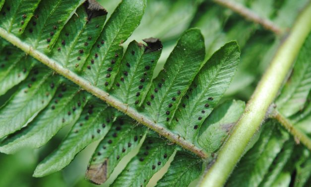 Amauropelta atrovirens