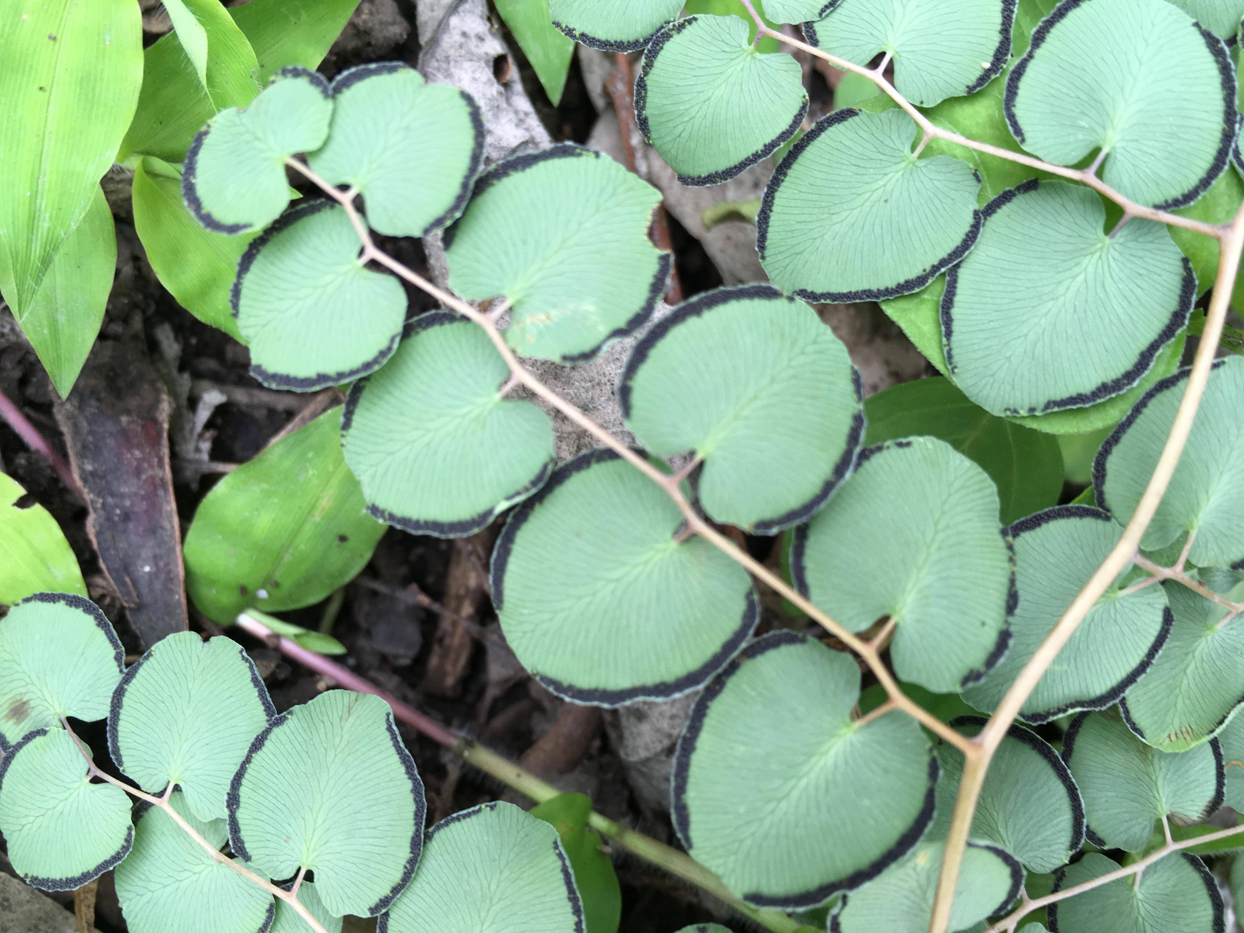 Pellaea cordifolia