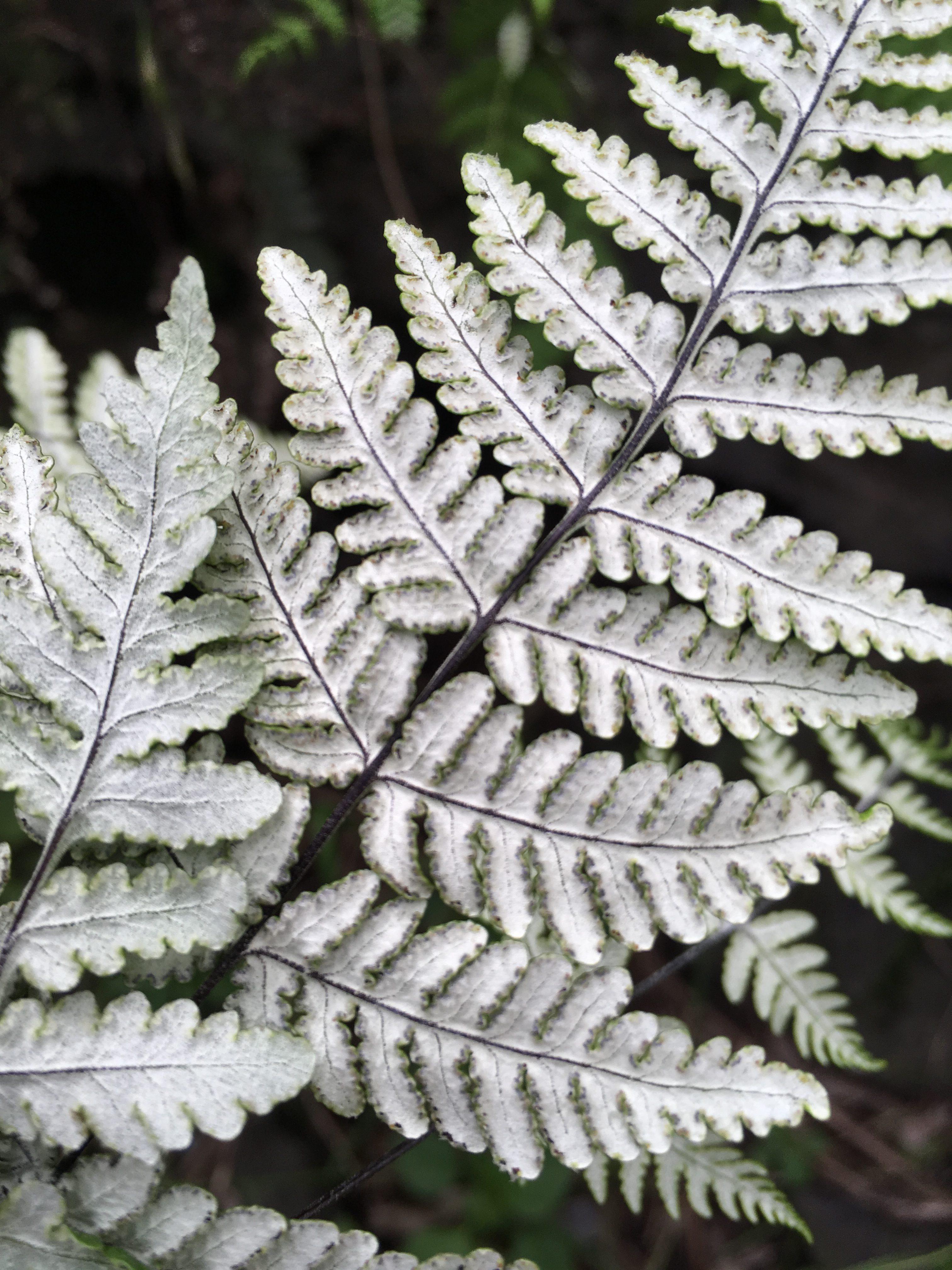 Cheilanthes farinosa