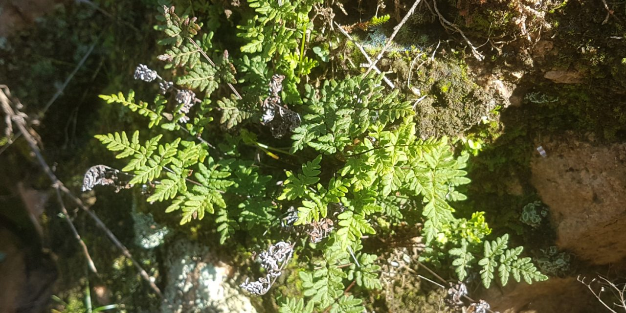 Cheilanthes guanchica