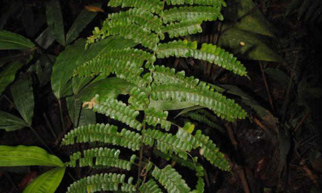 Didymochlaena truncatula