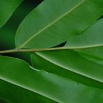Pteris grandifolia