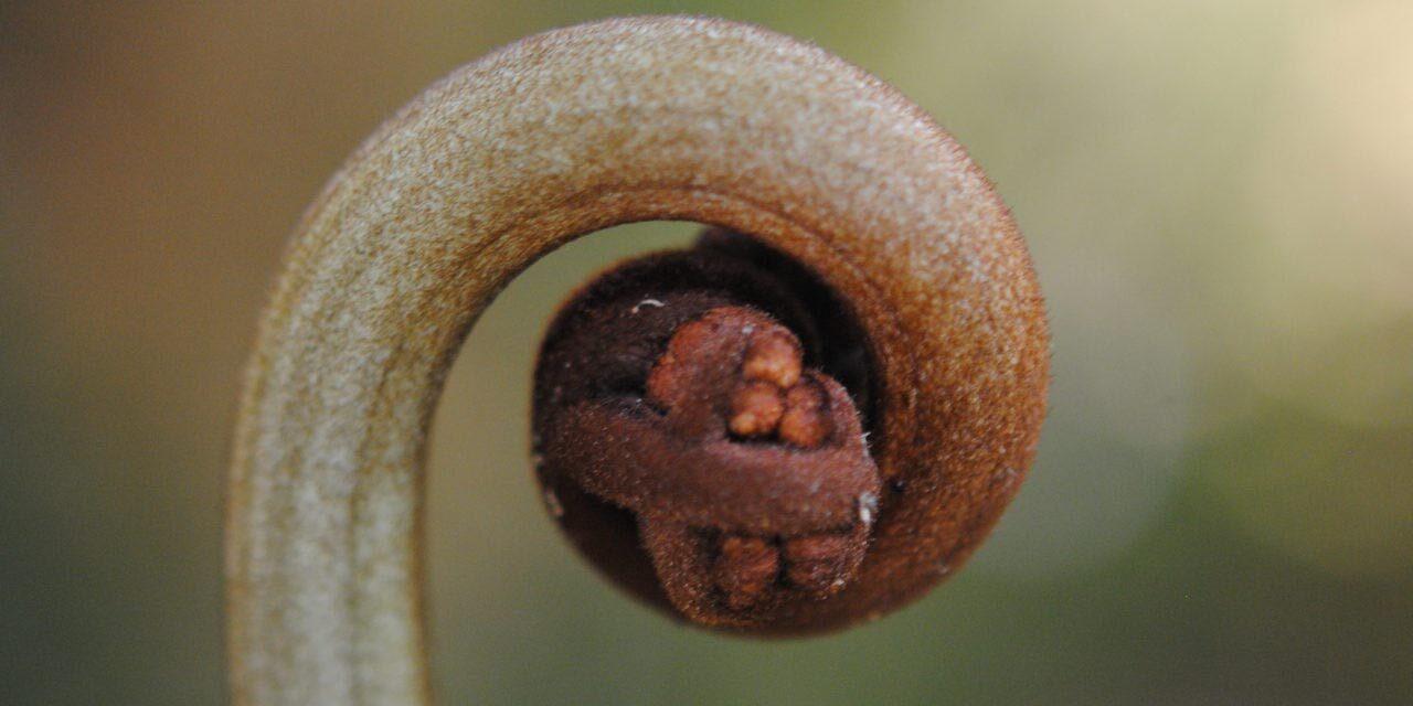 Hypolepis flexuosa