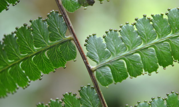 Dennstaedtia mathewsii