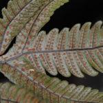 Pronephrium pentaphyllum