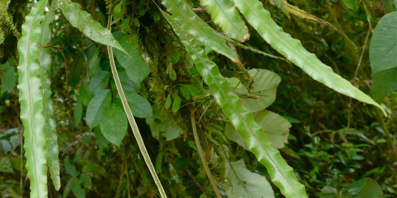 Elaphoglossum hammelianum