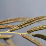 Llavea cordifolia