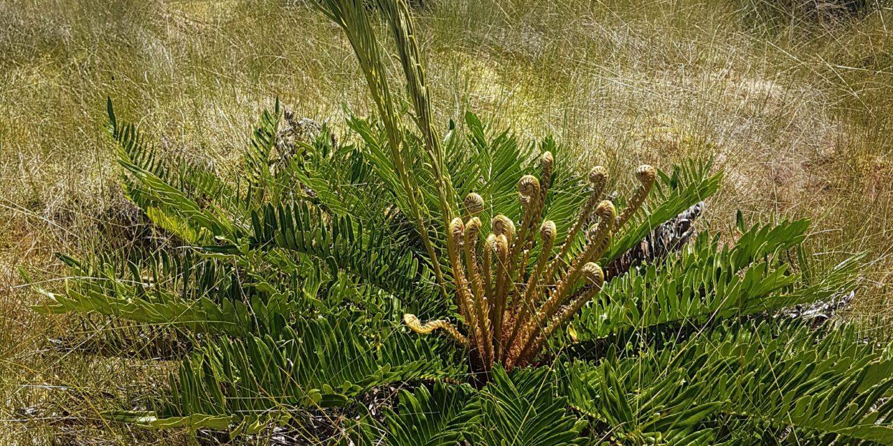 Lomariocycas schomburgkii