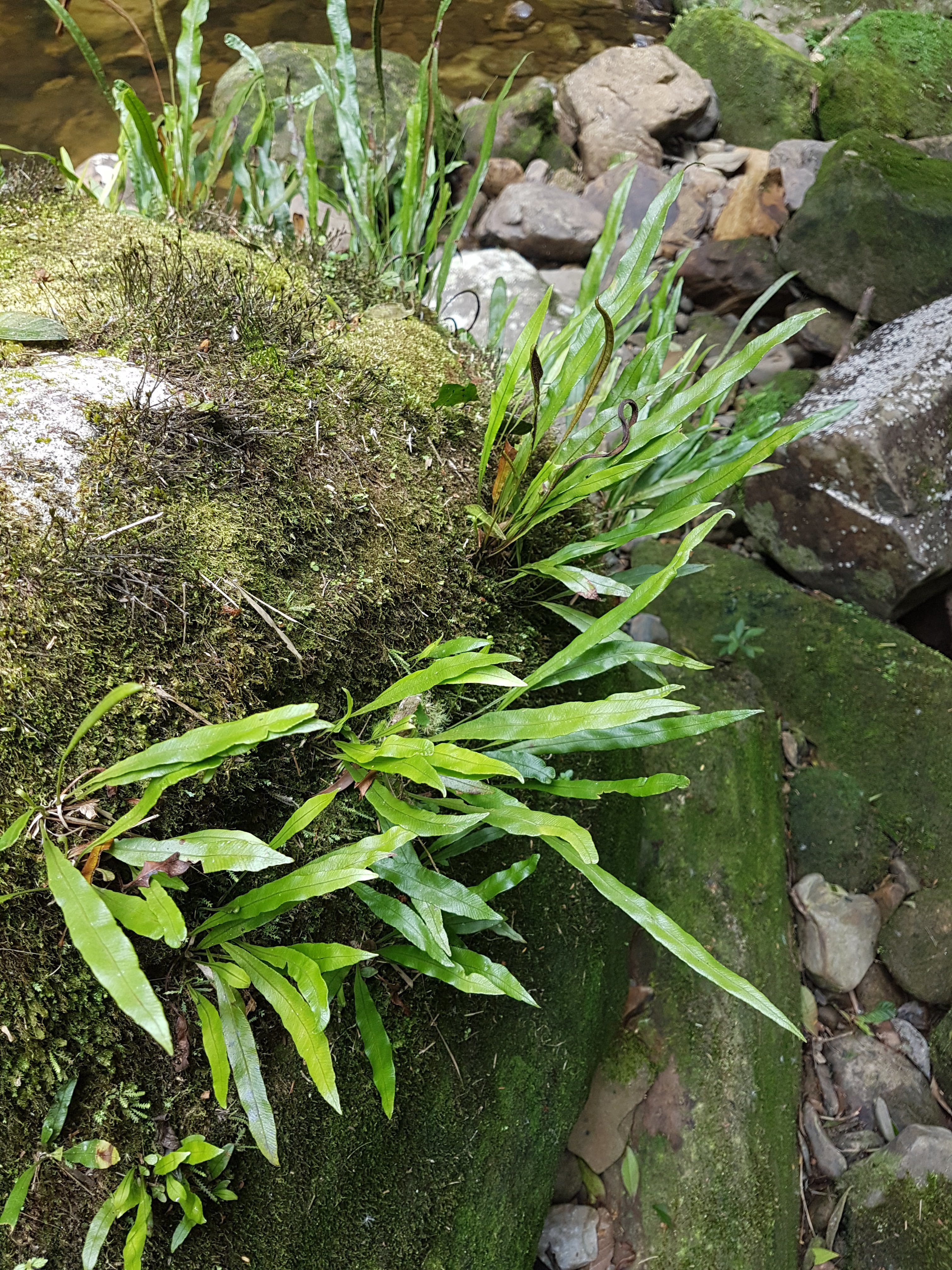 Elaphoglossum burchellii