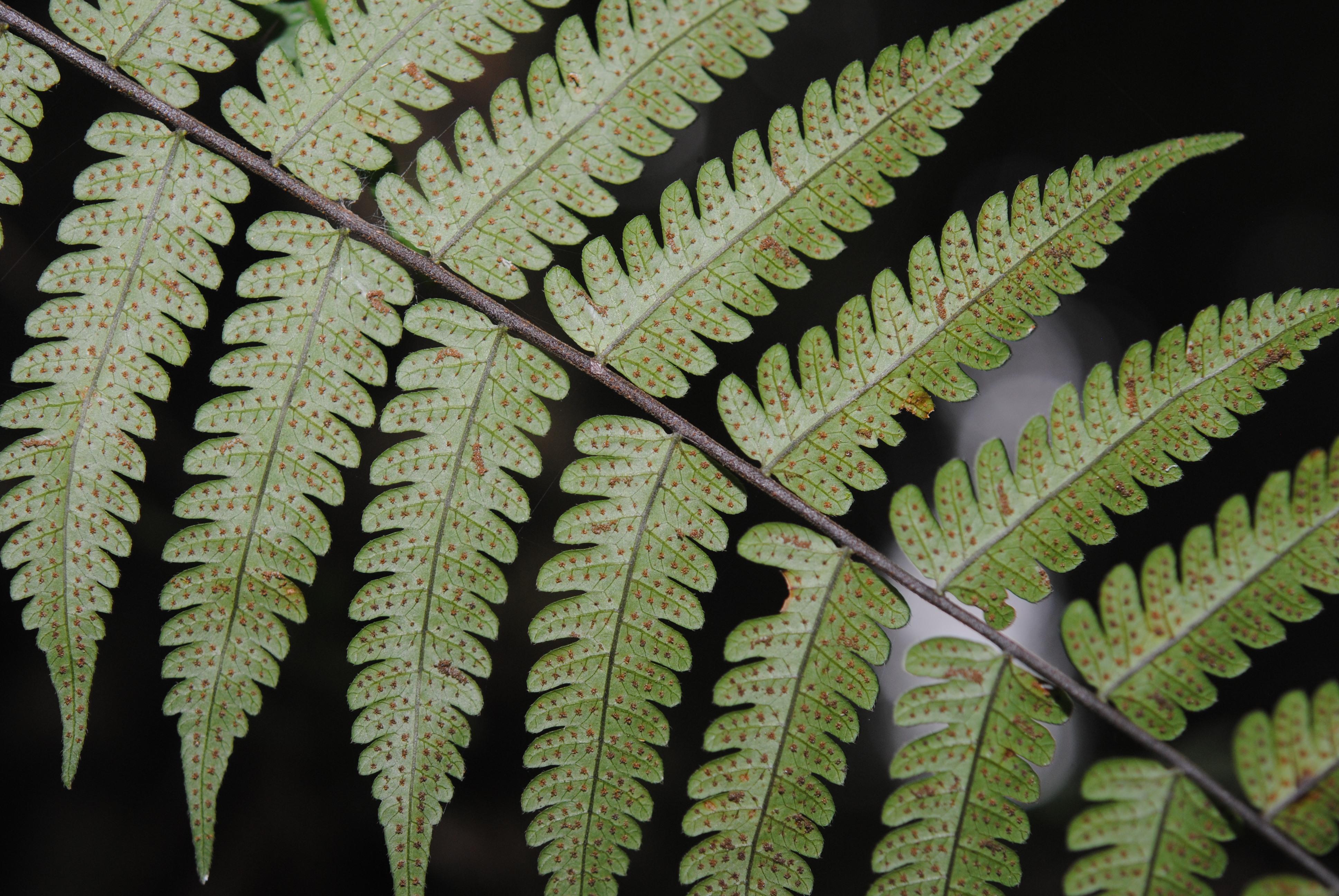 Sphaerostephanos aff. adenostegius