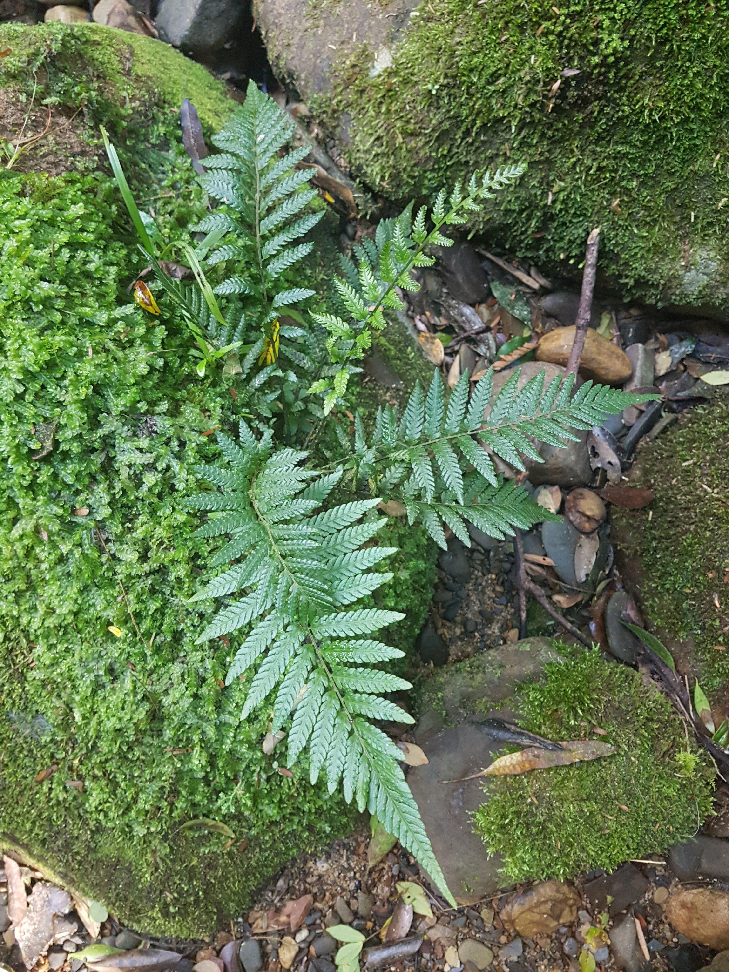 Amauropelta ptarmica