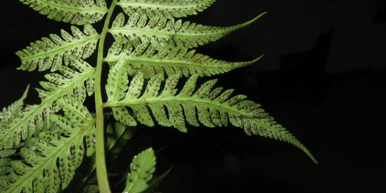 Ephemeropteris skinneri