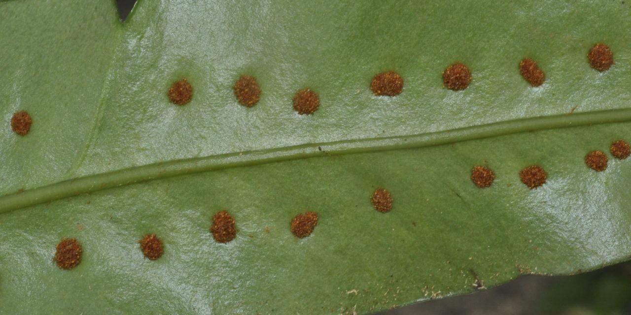 Microgramma megalophylla