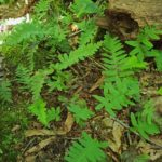 Polypodium sp.